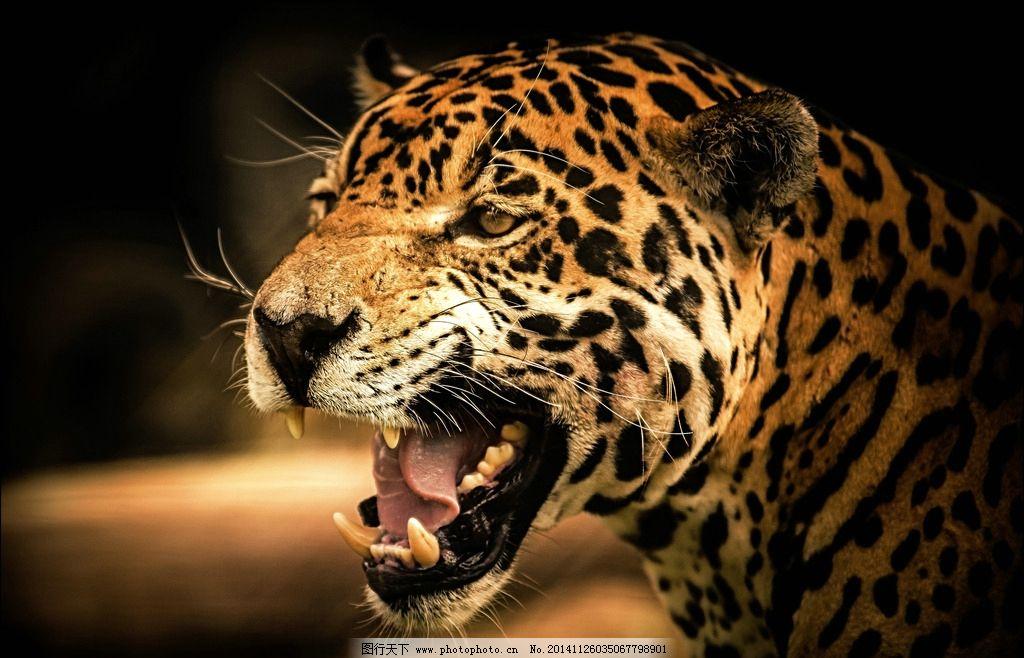 豹 豹子 壁纸 动物 虎 老虎 桌面 1024_658
