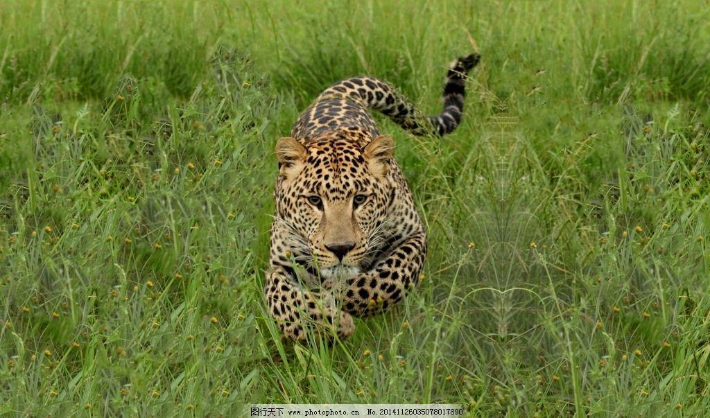 豹纹 猛兽 猫科动物 猎豹摄影 豹子摄影 飞禽走兽 摄影 生物世界 野生