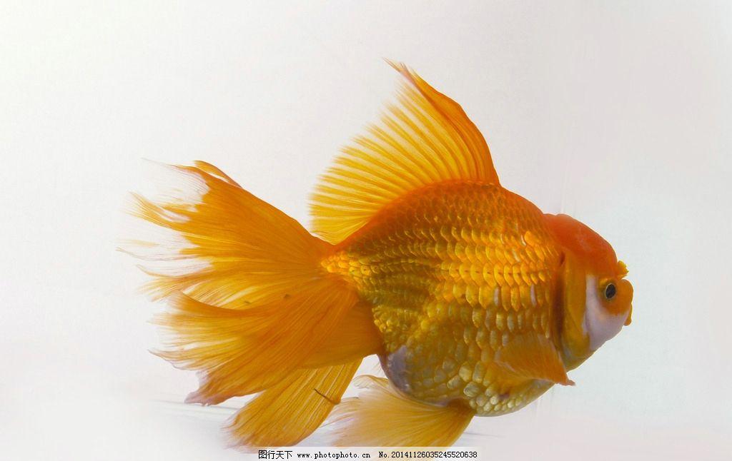 与金鱼相似的动物
