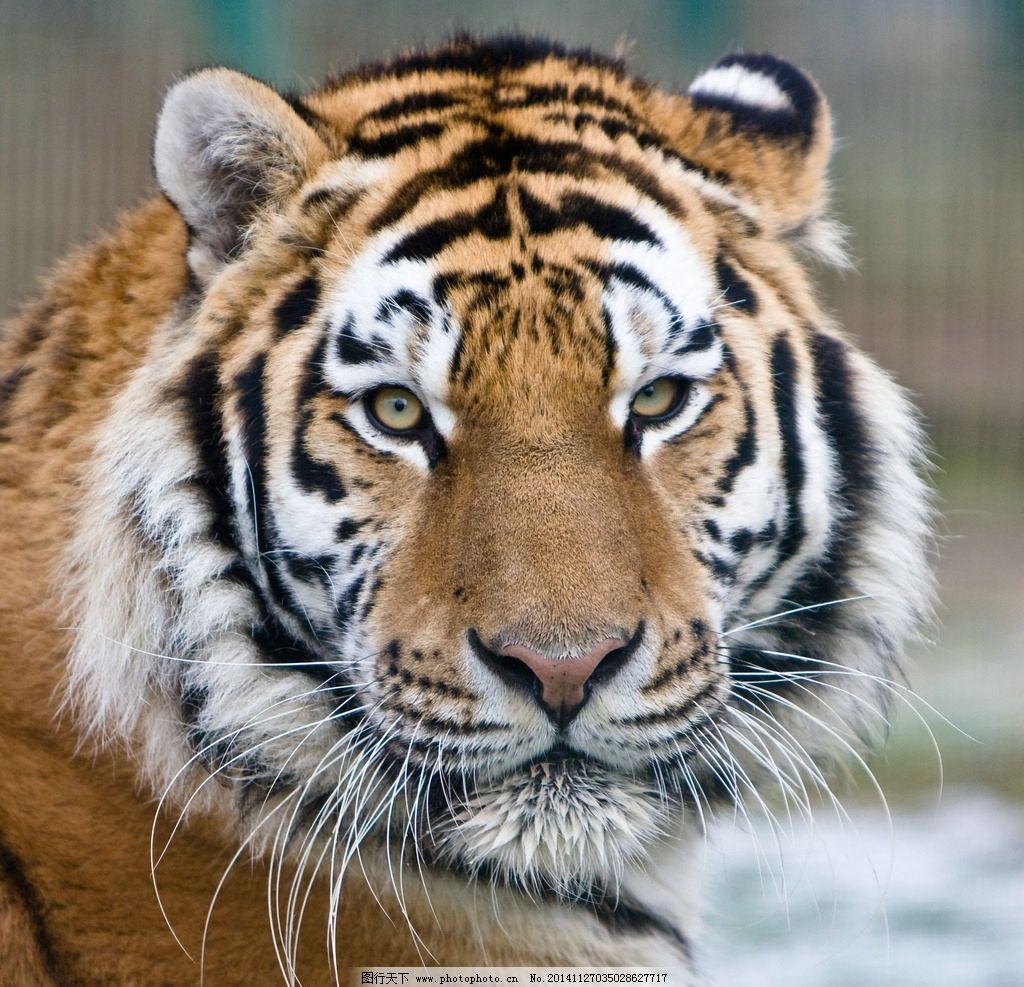 虎 老虎 猛兽 猫科动物 虎纹 老虎摄影 飞禽走兽 摄影 生物世界 野生