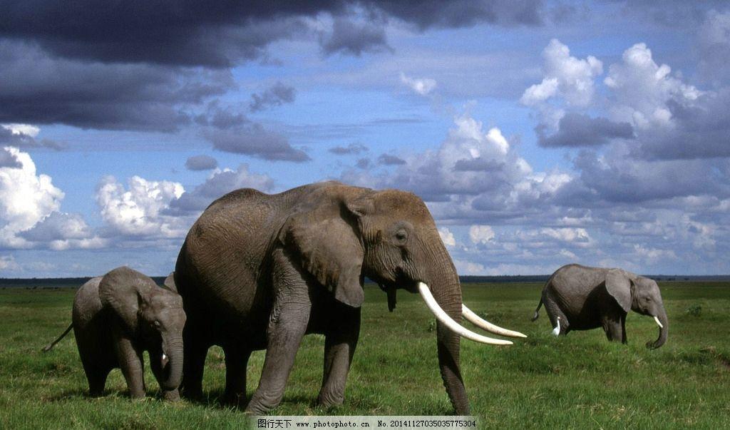 蓝天 白云 象牙 象 大象 大象摄影 野生大象 野生动物 飞禽走兽 摄影
