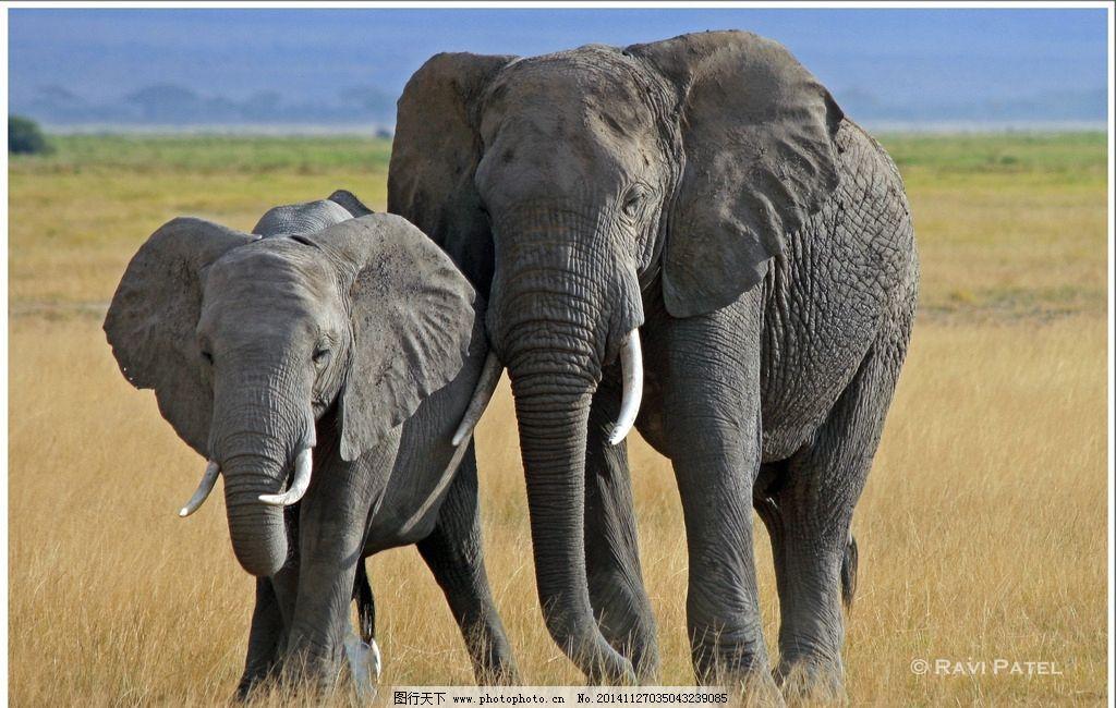 象 大象 大象摄影 野生大象 野生动物 飞禽走兽 摄影 生物世界 野生