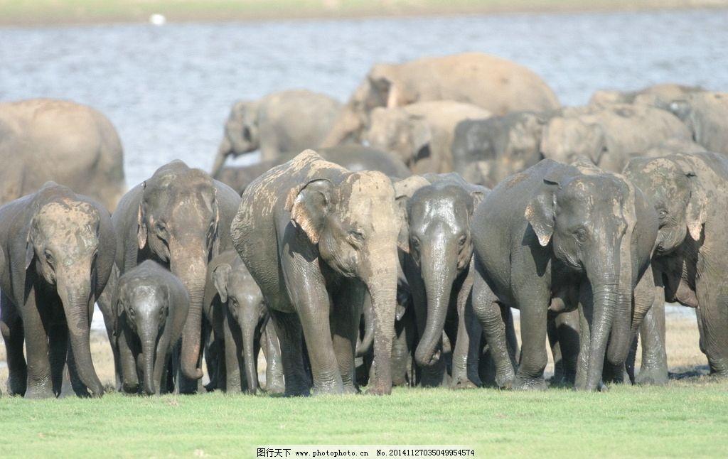 象群 象 大象 大象摄影 野生大象 野生动物 飞禽走兽 摄影 生物世界