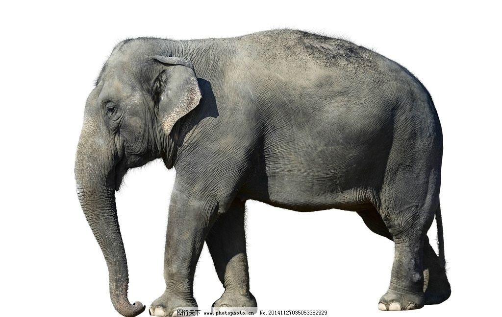 大象图片_野生动物_生物世界_图行天下图库