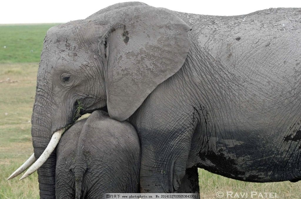象牙 象 大象 大象摄影 野生大象 野生动物 飞禽走兽 摄影 生物世界