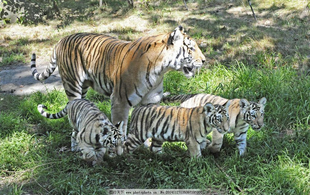 老虎 猛兽 猫科动物 虎纹 老虎摄影 飞禽走兽 生物世界 野生动物