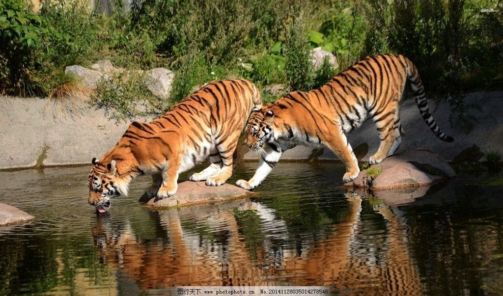 老虎喝水图片_野生动物