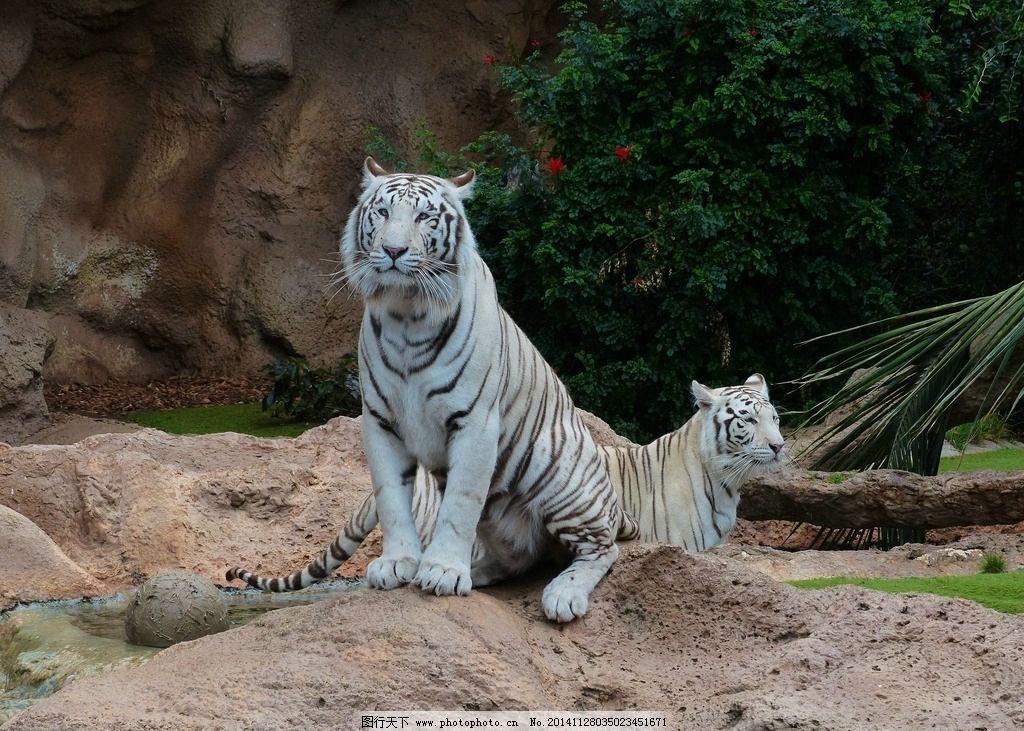 秦皇岛野生动物园白虎图片
