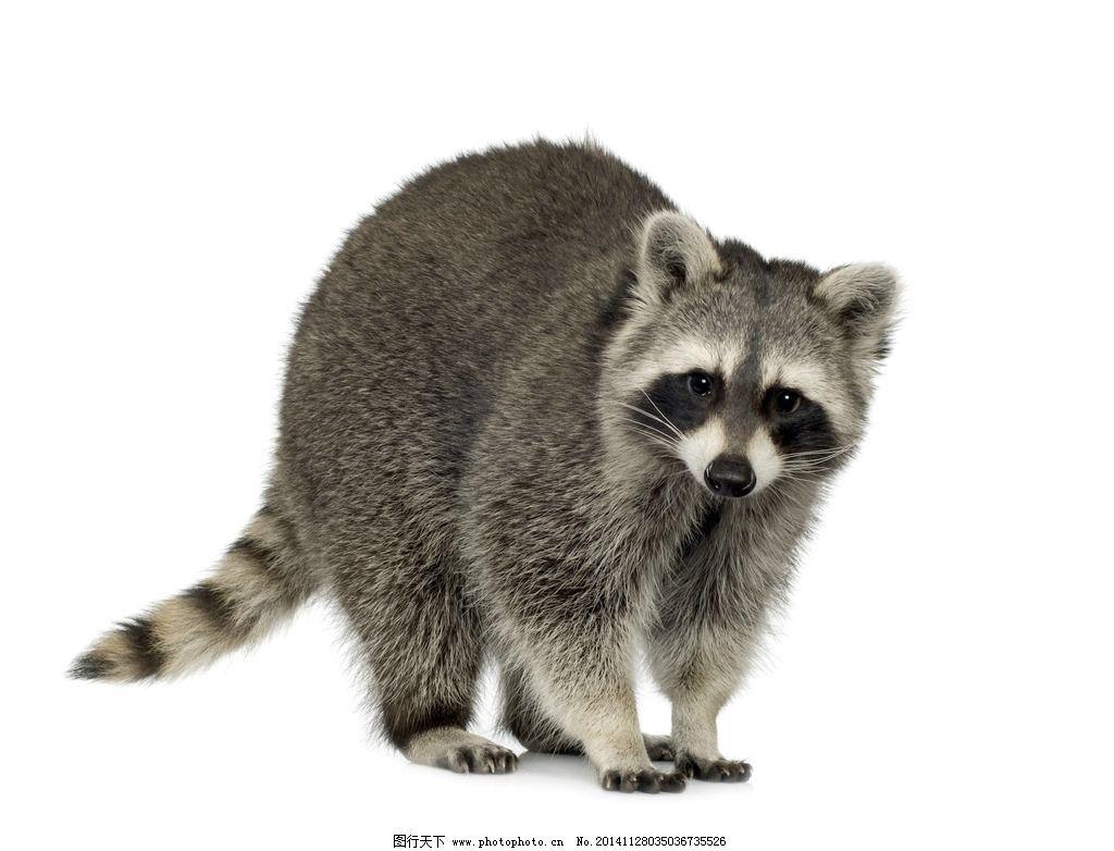 浣熊 小浣熊 动物 可爱 干脆面 野生动物 野生动物 摄影 生物世界