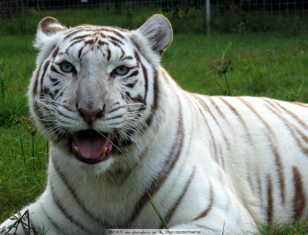 白虎 老虎 猛兽 猫科动物 虎纹 老虎摄影 飞禽走兽 生物世界