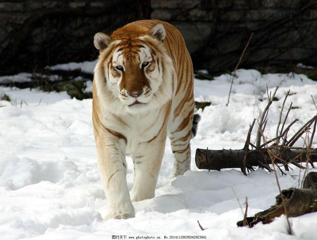 秦皇岛 野生动物 老虎 动物 动物园 凶猛 唯美 清新 可爱 摄影 生物