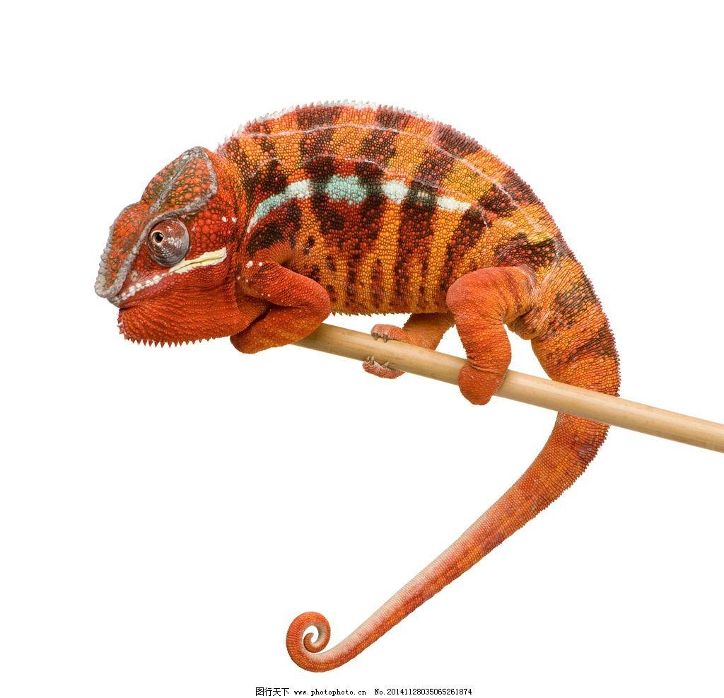 变色龙 蜥蜴 冷血动物 动物 爬行 高清写真 野生动物 野生动物 摄影