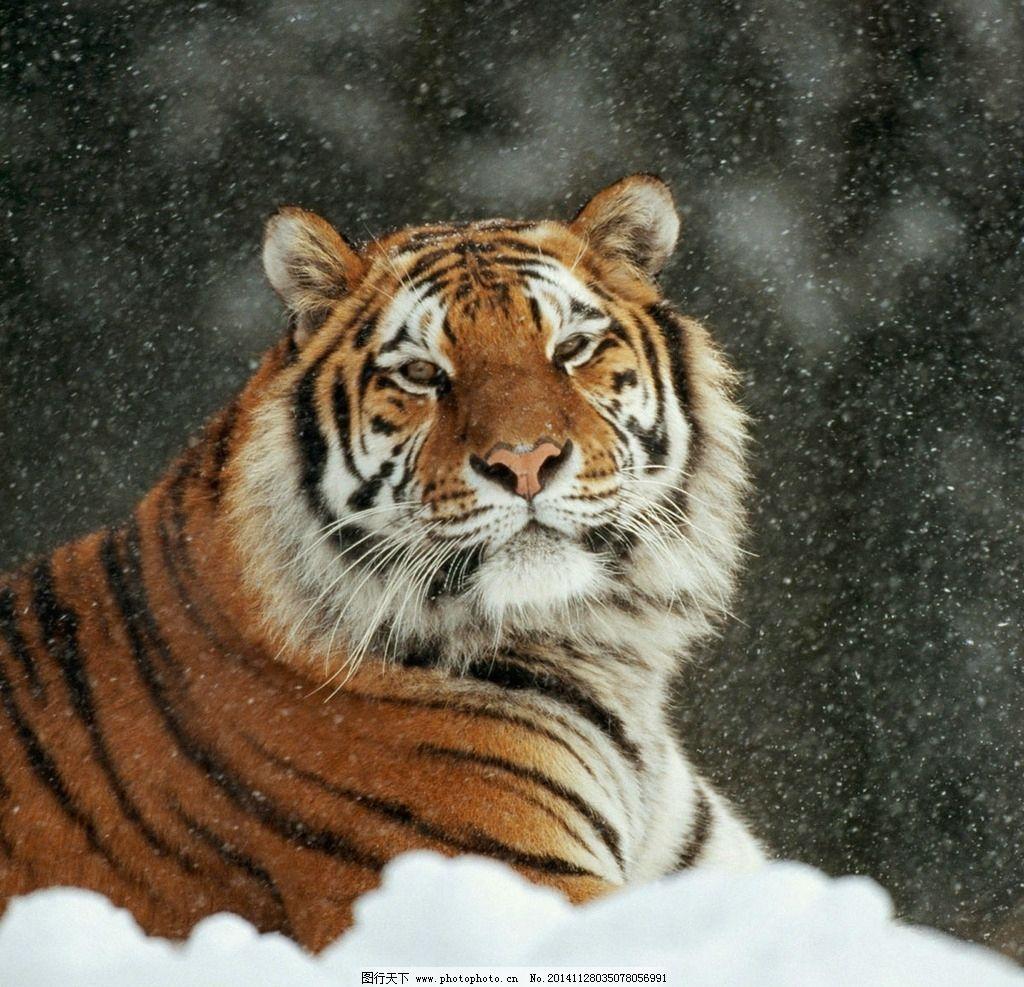 东北虎 老虎 猛兽 猫科动物 虎纹 老虎摄影 飞禽走兽