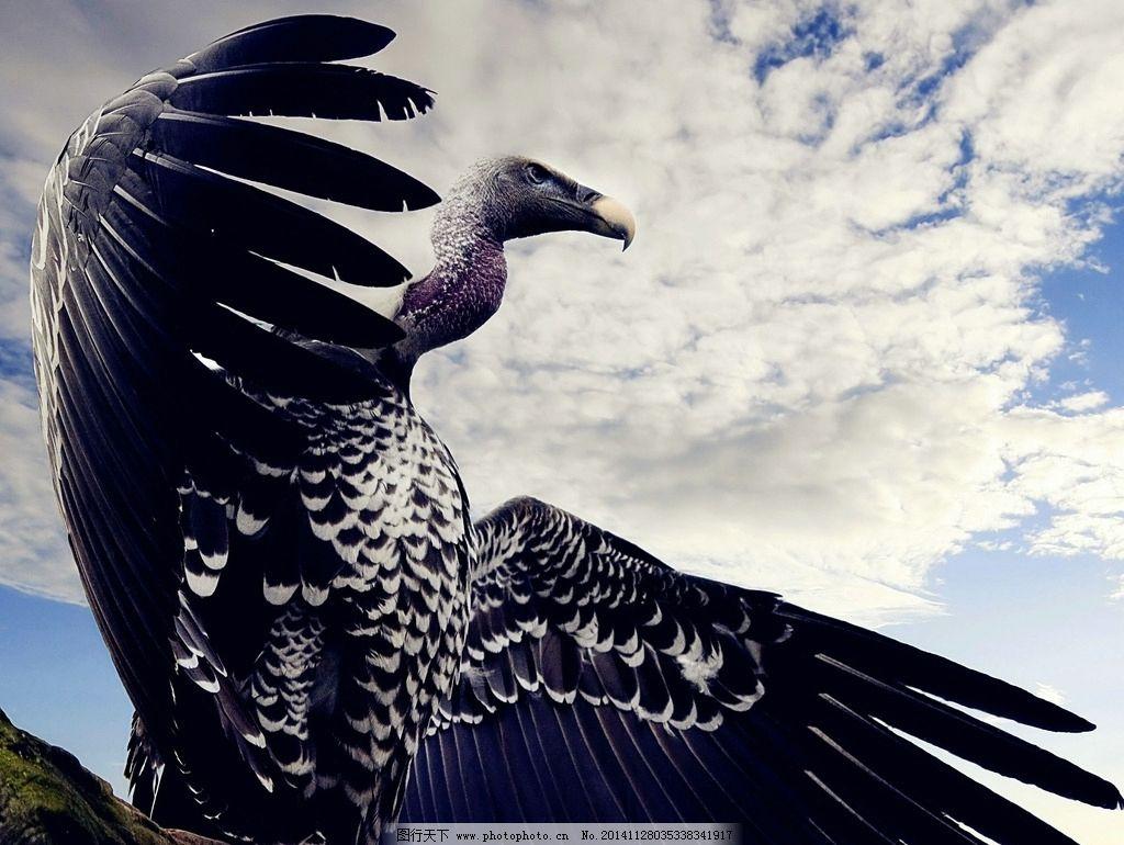 唯美老鹰 清新 大鹏展翅 可爱 动物 野生动物 摄影