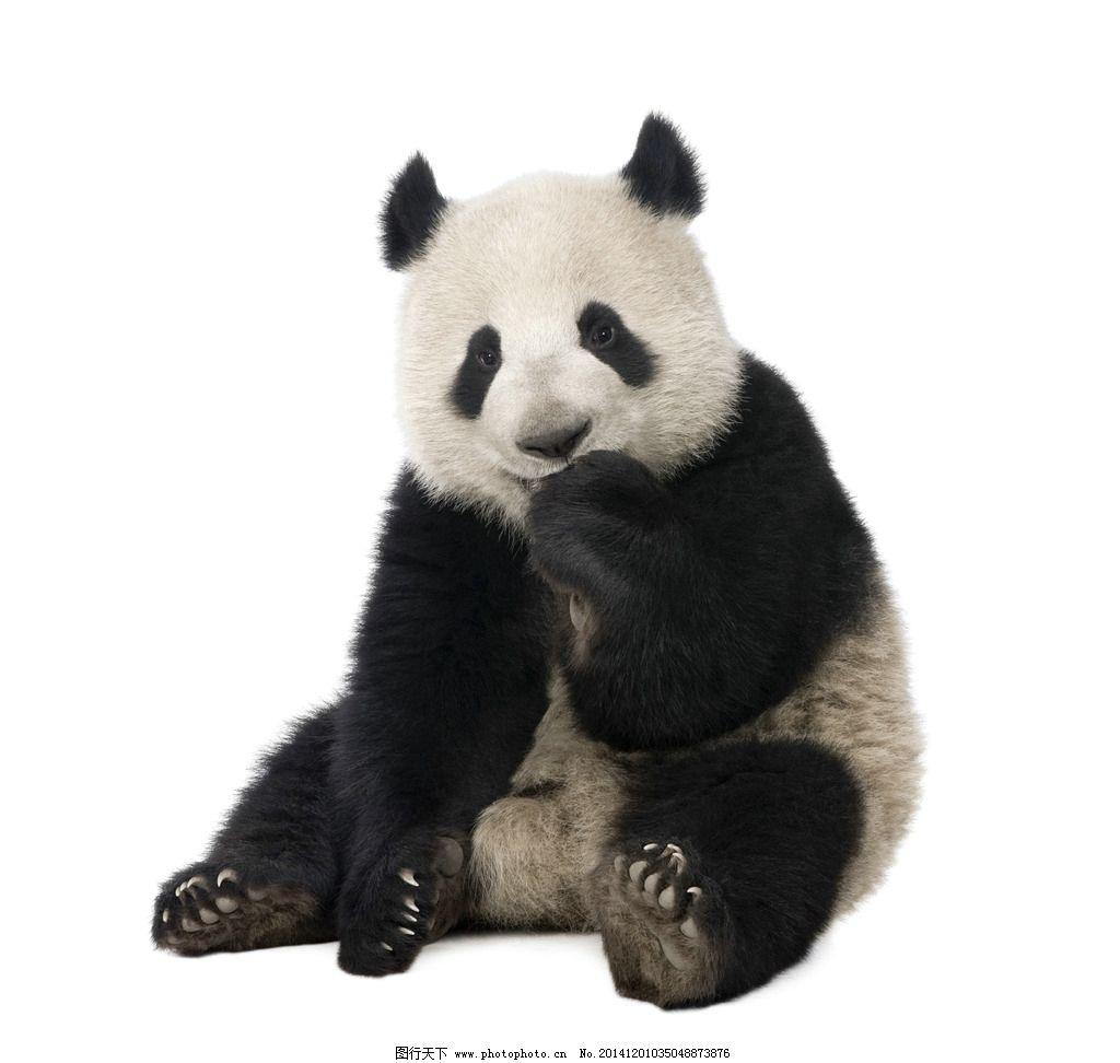 大熊猫 可爱 国宝 动物 野生动物 摄影 生物世界