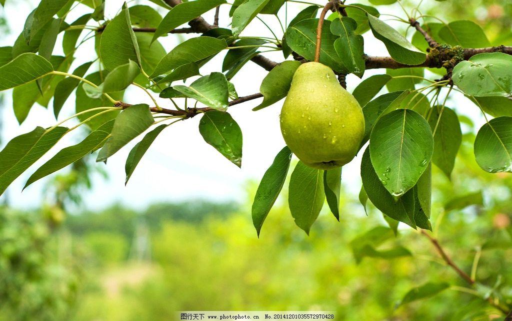 梨子 梨树图片