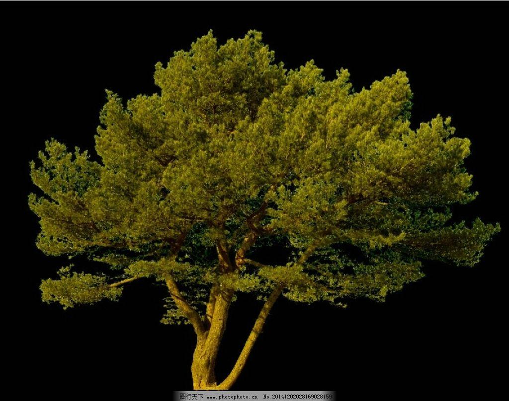 松树 植物 景观 园林