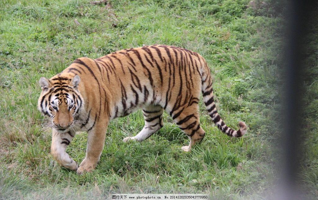 老虎 动物园 凶猛 走路 笼子 摄影 生物世界 野生动物 72dpi jpg