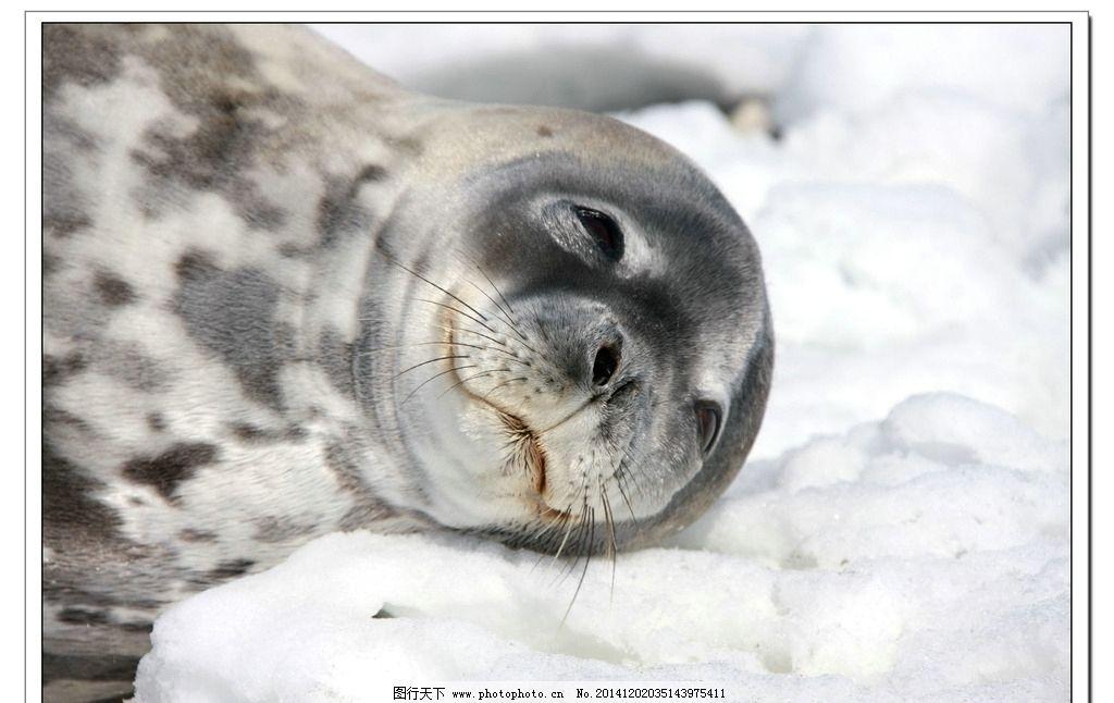 南极 海狮 冰川 动物 自然 海洋 国外旅游 旅游摄影 海狮图片 摄影