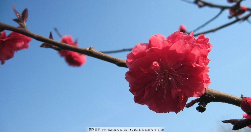 桃花 花草 多瓣 红色 春天 植物 摄影 生物世界