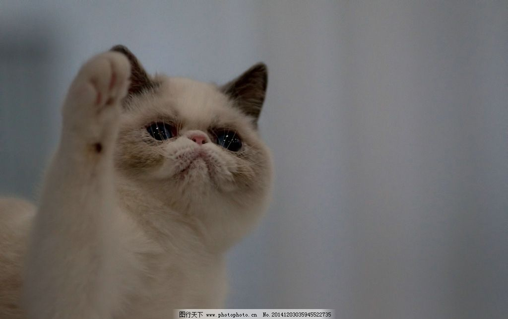 招财 小猫 中国家猫