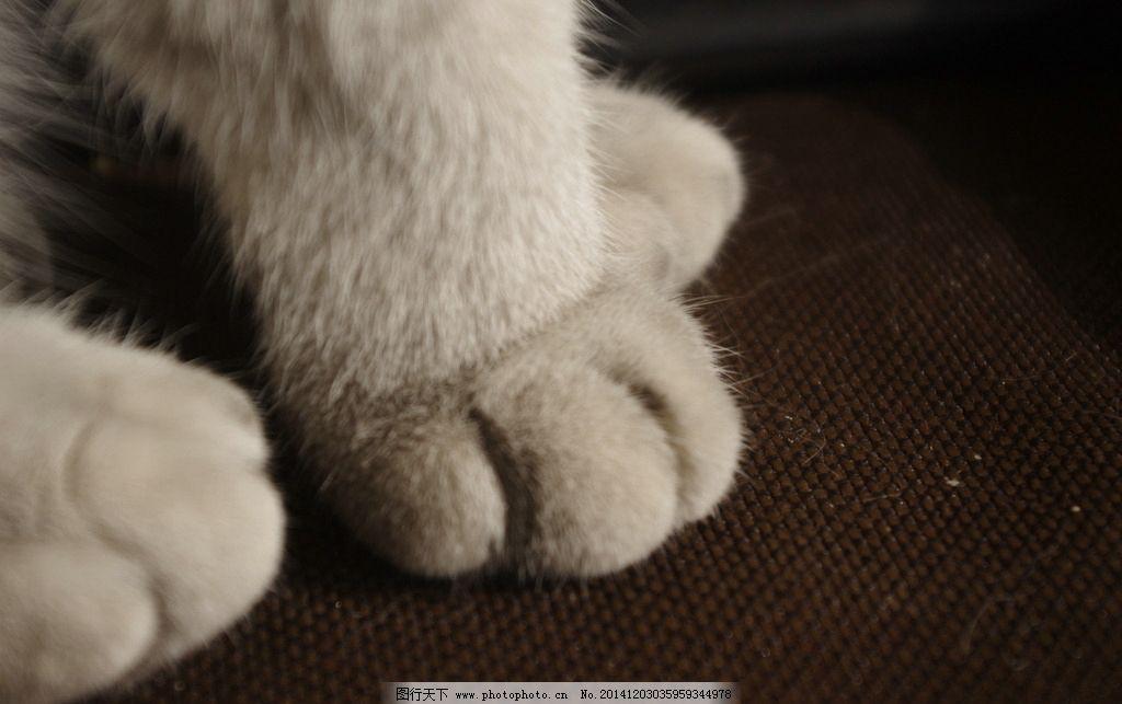 猫咪 喵星人 爪子 动物 猫科动物 折耳猫 短毛 摄影 生物世界 家禽