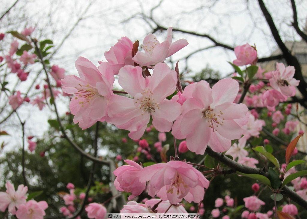 垂丝海棠 樱花 花树 粉色 花朵 植物 自然 田园  摄影 生物世界 花草