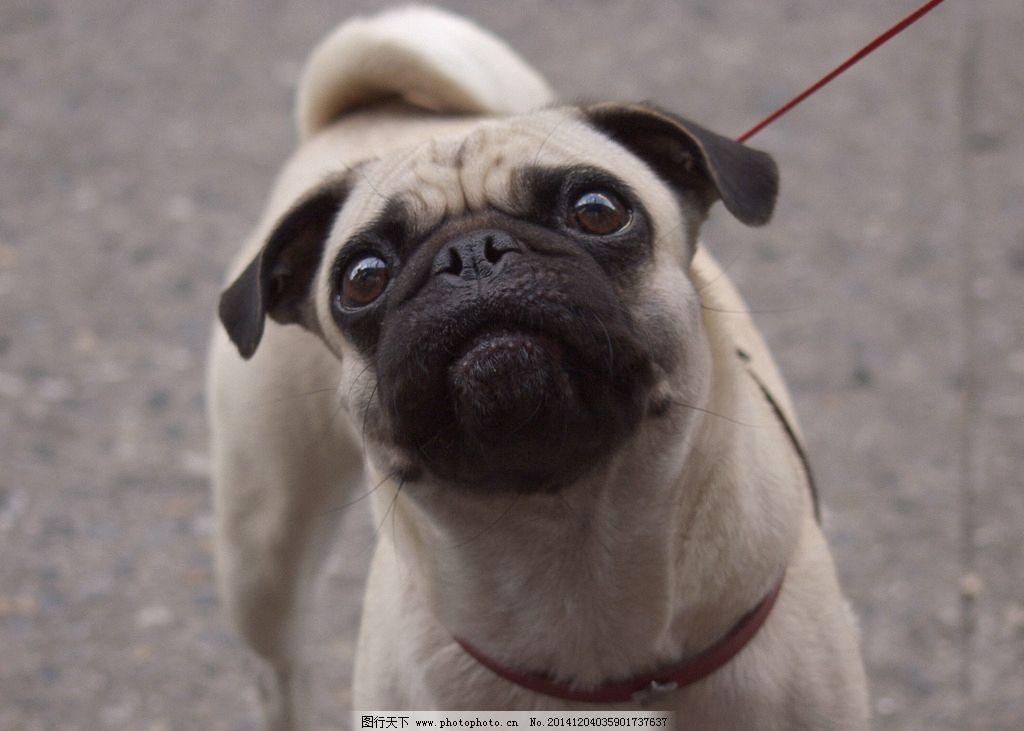 动物 大狗 狗狗 摄影 斗牛犬 jpeg 生物世界 家禽家畜 家狗 可爱 宠物