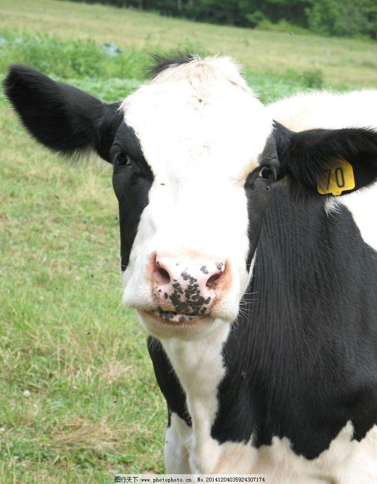 牛 花牛 奶牛 小牛 家牛 草地 摄影 生物世界 家禽家畜 动物     动物