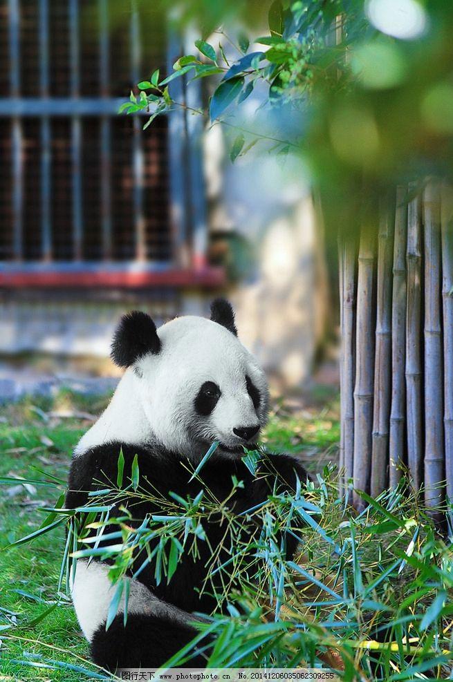 大熊猫 熊猫 竹子 动物