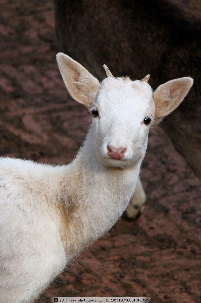 白鹿 鹿角 野生动物 动物园 觅食 饲养 宠物 珍惜动物 濒危动物 保护