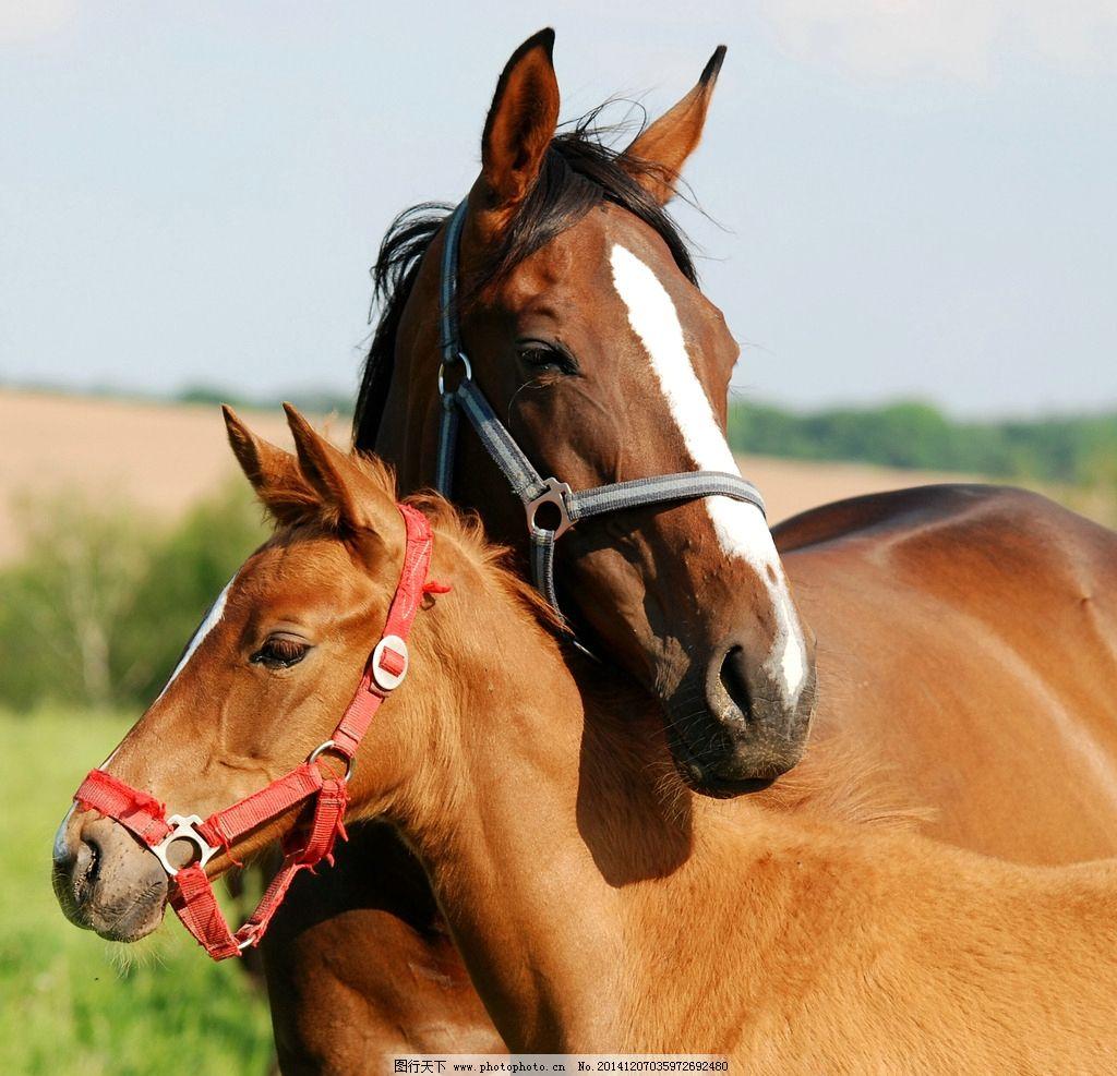 骏马 动物摄影 马 骏马图片 骏马素材 动物素材 家禽家畜 生物世界