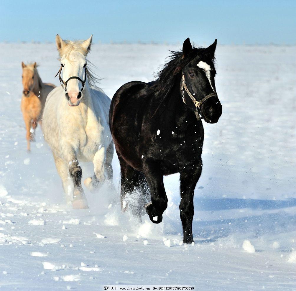 骏马 动物摄影 马 骏马图片 骏马素材 家禽家畜 生物世界 摄影 生物