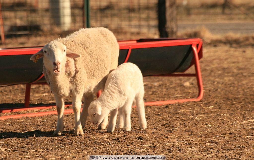绵羊 可爱 草地 草原 家畜 家禽家畜 生物世界 摄影 羊年素材 小羊