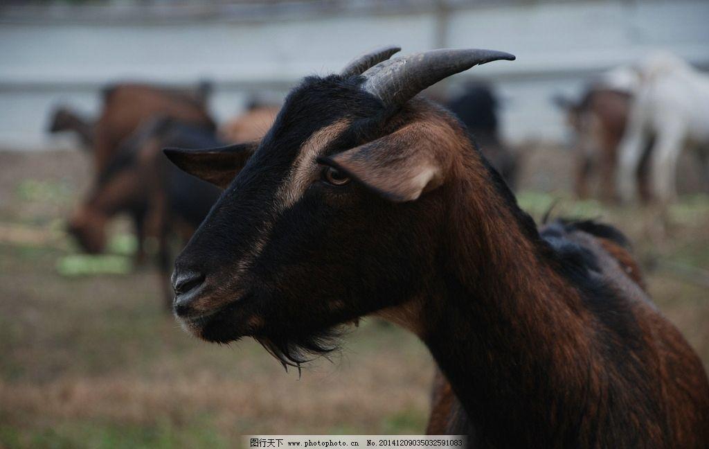羊 麻羊 放养 野生 畜禽 摄影 生物世界 野生动物 300dpi jpg