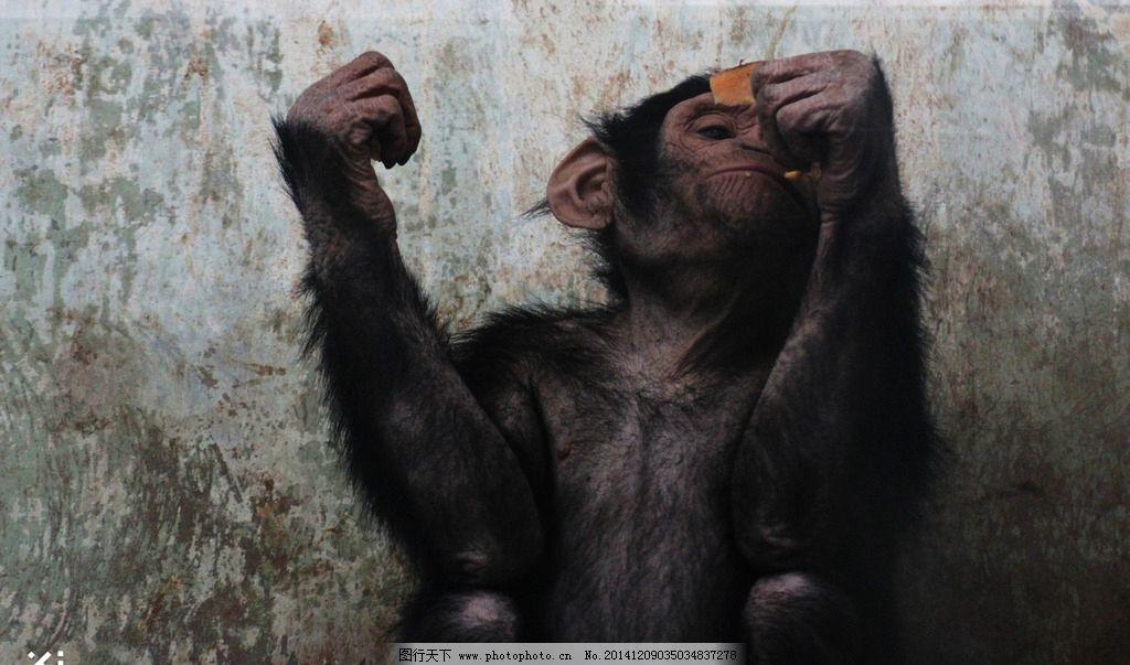 动物 黑猩猩 饼干 恶搞 动物园 摄影 生物世界 野生动物 72dpi jpg