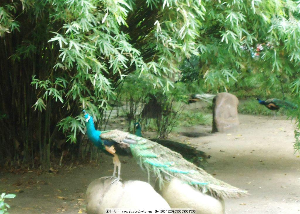 孔雀 孔雀了望 蓝色孔雀 公孔雀 蓝绿 竹林孔雀 动物园 72 dpi 摄影