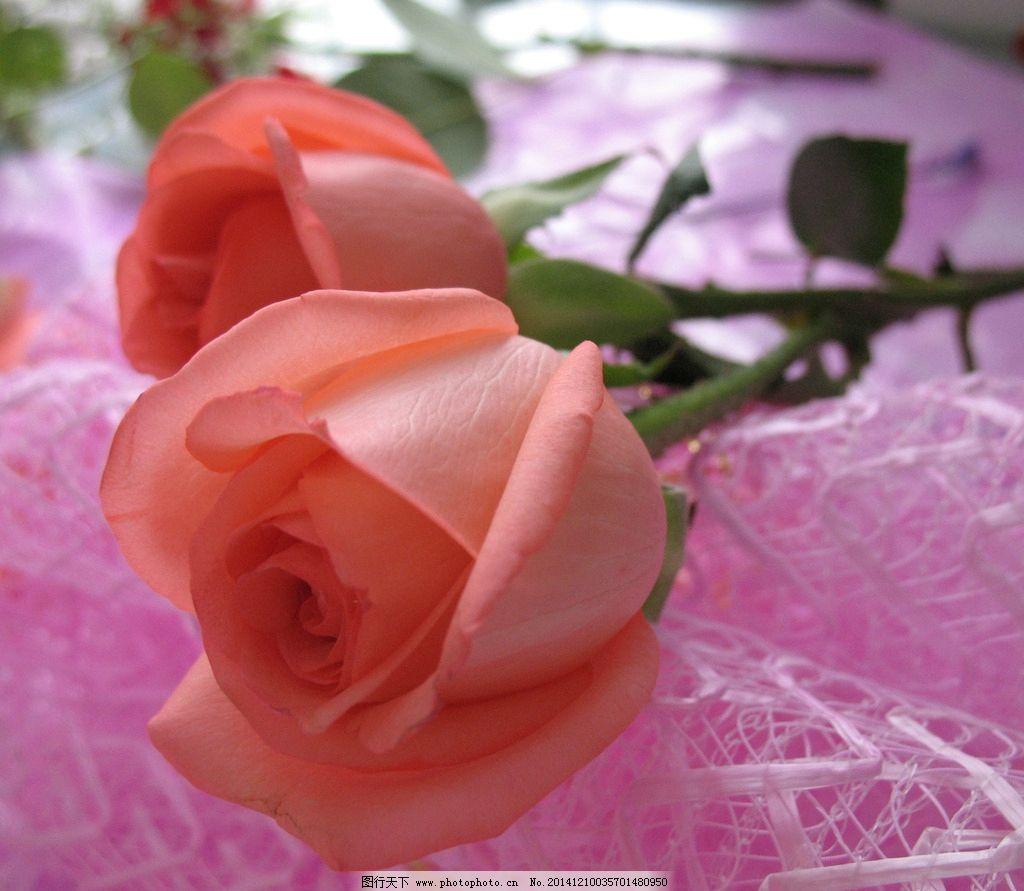 粉玫瑰 红玫瑰 玫瑰花 花卉 鲜花 植物 二朵玫瑰 摄影 摄影