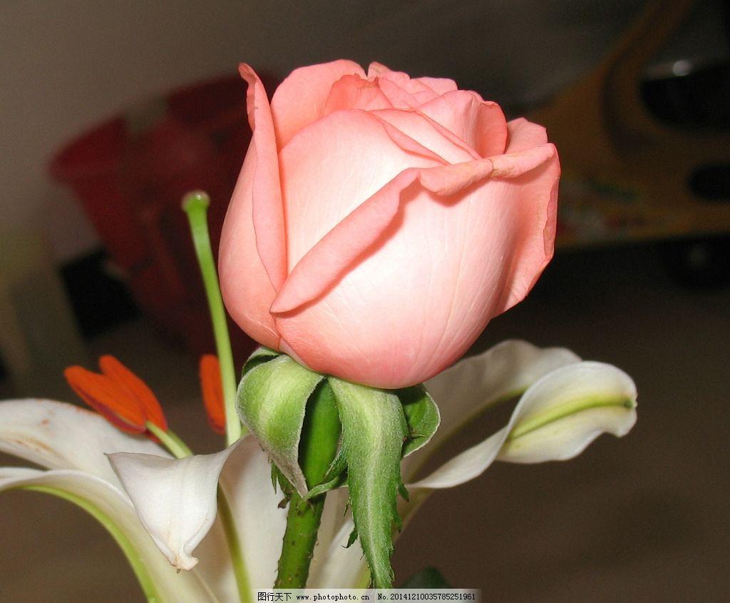 粉玫瑰 红玫瑰 玫瑰花 花卉 鲜花 植物 一朵玫瑰 花草 生物世界