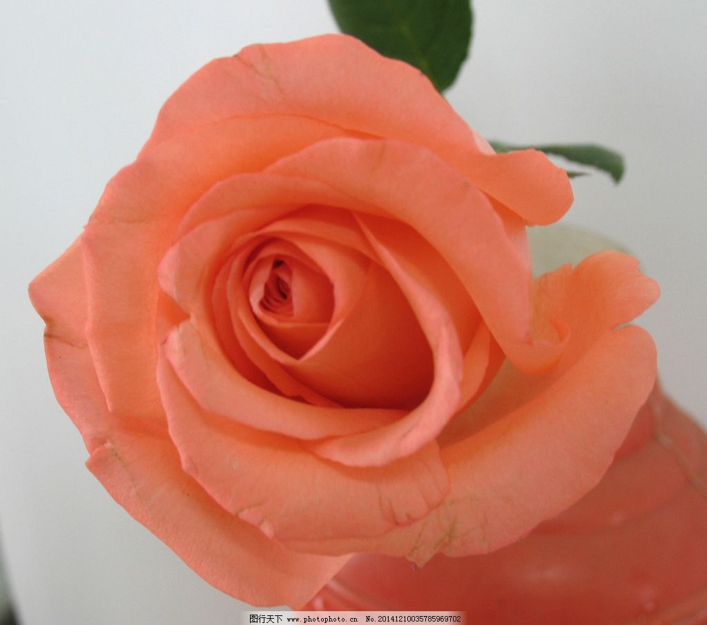 红玫瑰 玫瑰花 粉玫瑰 玫瑰 花卉 鲜花 植物 花 花草 生物世界 摄影