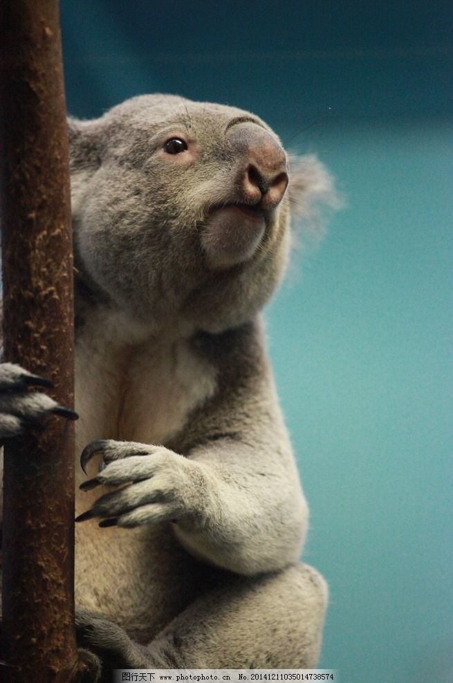 考拉 树袋熊 澳大利亚国宝 考拉熊 澳洲野生动物 摄影 生物世界