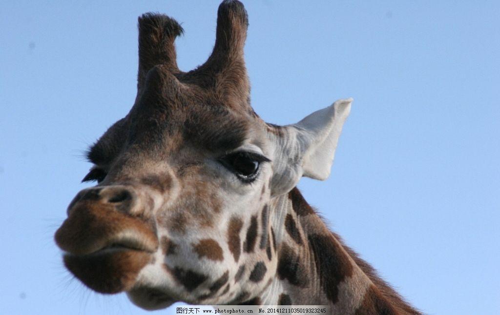麒麟鹿 长脖鹿 鹿 可爱 鹿类 动物 野兽 长脖子 小长颈鹿 动物园 兽类