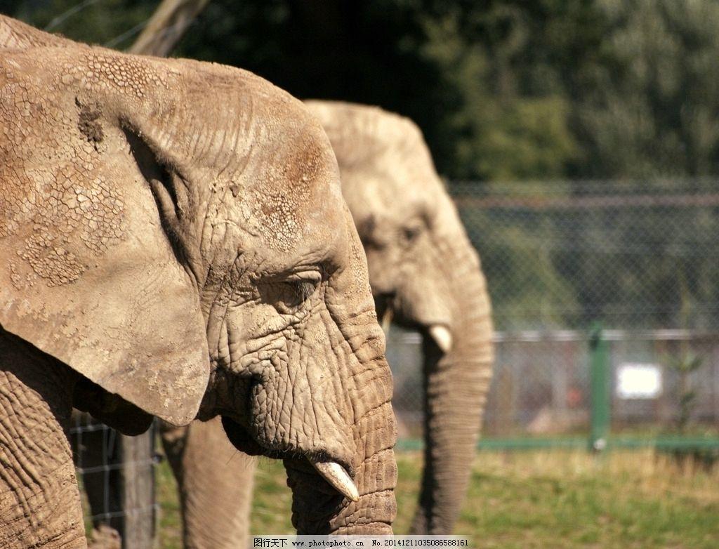 象牙 象 大象 象鼻 大象摄影 野生大象 野生动物 生物世界 jpg 动物
