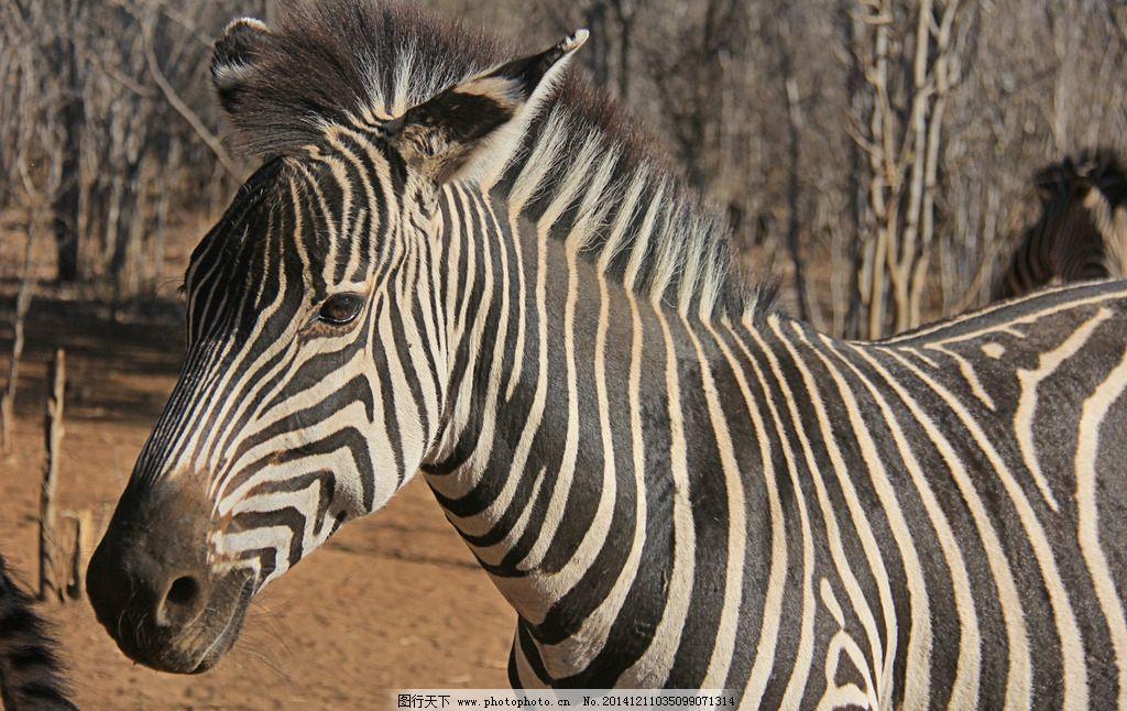 斑马 非洲动物 非洲旅游 赞比亚 利文斯顿 皇家利文斯顿 狂野非洲