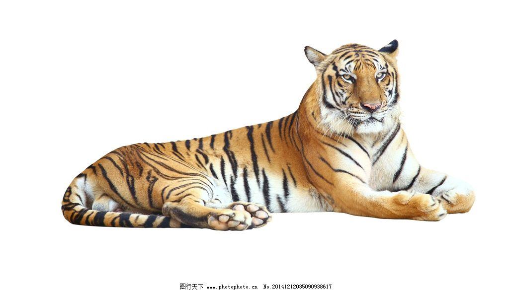 老虎 东北虎 卧虎 猛虎 野兽 猫科动物 猛兽 食肉动物 凶猛 老虎图片