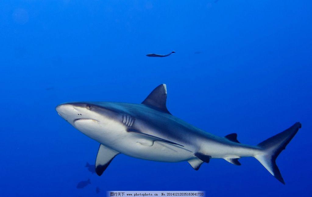 鲨鱼 鱼翅图片_鲨鱼图片_海洋生物_生物世界_图行天下图库