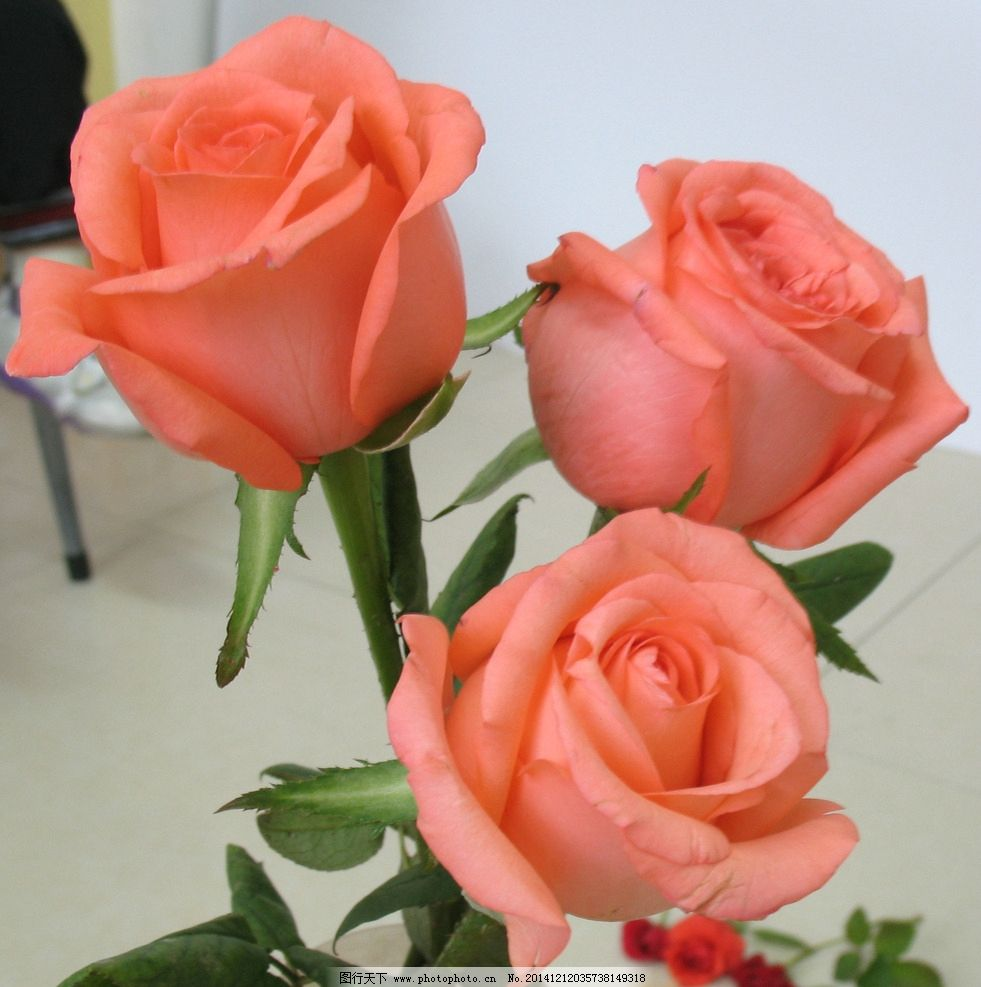 粉玫瑰 红玫瑰 玫瑰花 花卉 鲜花 植物 花草 生物世界 摄影
