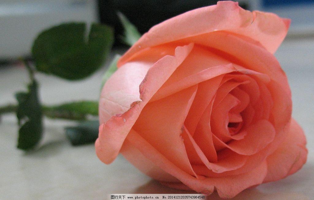 粉玫瑰 玫瑰花 花卉 鲜花 植物 一只玫瑰 摄影