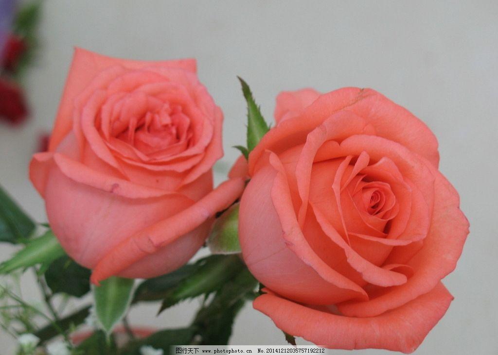 粉玫瑰 红玫瑰 玫瑰花 花卉 鲜花 植物 两只玫瑰 花草 生物世界