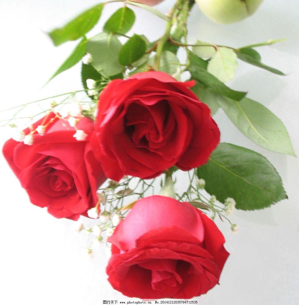 红玫瑰 玫瑰花 玫瑰 玫瑰花束 花卉 鲜花 植物 三朵玫瑰 花 花草 生物
